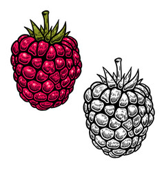 raspberry in engraving style on white background vector image