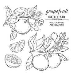 grapefruit set vector image