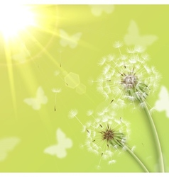 White dandelions with summer sun vector image
