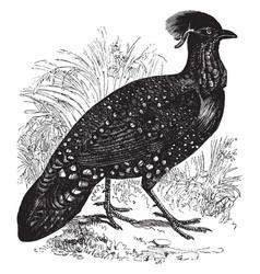 Horned pheasant vintage vector