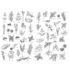 Spices cooking herbs and seasonings sketch vector