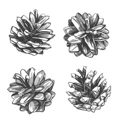 pine cones collection hand drawn vector image
