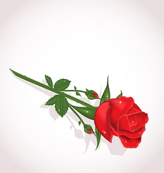 Elegant single rose for design your greeting card vector image