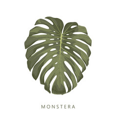 monstera high quality deatiled hand drawn leaf vector image