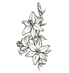 lily flowers black and white vector image