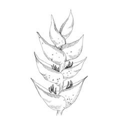 calathea tropical plant sketch exotic vector image