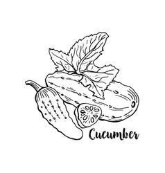 hand drawn cucumber isolated cucumber vegetable vector image