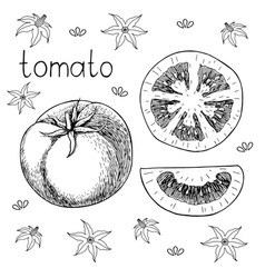 hand drawn sketch of fresh juicy tomato vector image