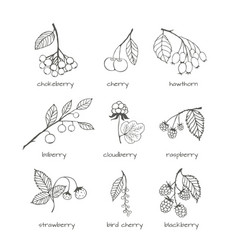 Set of garden and wild hand-drawn sketches berries vector