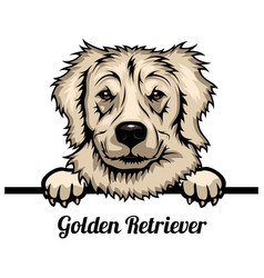 Golden retriever - dog breed color image a vector