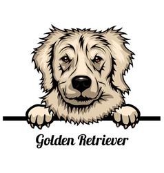 golden retriever - dog breed color image vector image