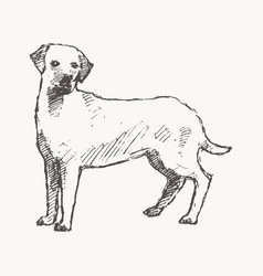 labrador retriever hand drawn dog sketch vector image