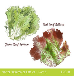 Watercolor red and green leaf lettuce vector