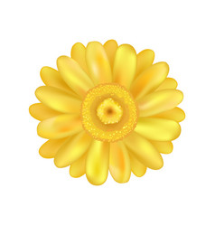 Yellow zinnia daisy flower vector