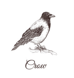crow sketch vector image