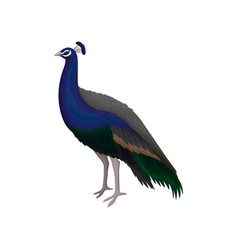detailed flat icon of beautiful peacock vector image