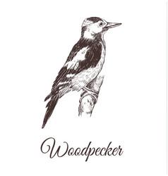 woodpecker sketch vector image