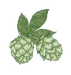 botanical drawing of green fresh organic hop vector image