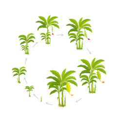 Crop cycle for banana tree crop stages bananas vector