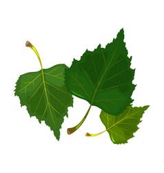Three green leaves birch tree hello summertime vector