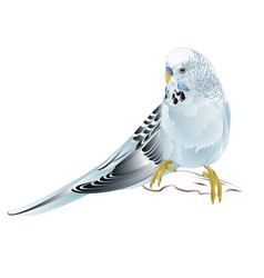 Budgerigar blue pet parakeet vector