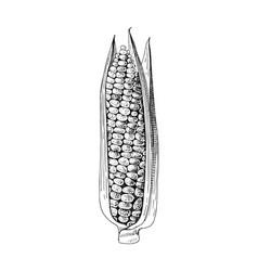 Hand drawn corn ear vector
