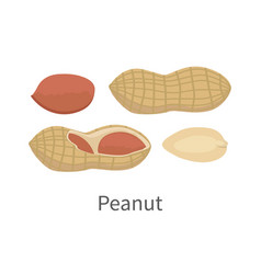 peanut in flat style design vector image vector image