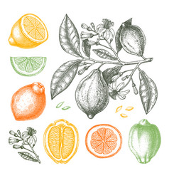 Ink hand drawn citrus fruits collection lemon vector