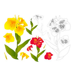 yellow and red canna lily flower outline vector image vector image