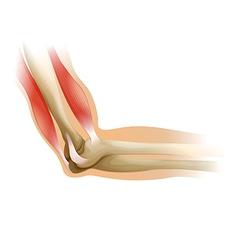 Human elbow vector