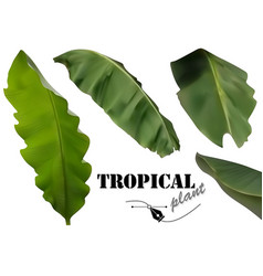 tropical banana palm leaves vector image