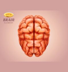 top view on brain human mind medicine anatomy vector image