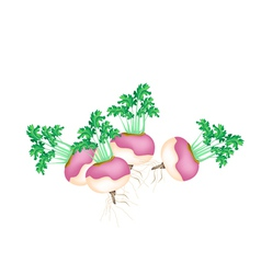 A Group of Purple Turnip on White Background vector