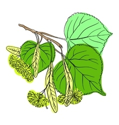 Linden Blossom vector image