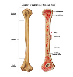 Structure a long bone humerus tube vector