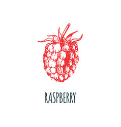 hand drawn raspberry on white background vector image