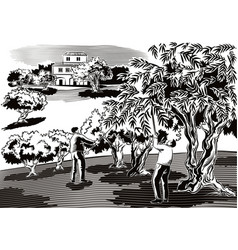 two men collect the olives directly from the tree vector image