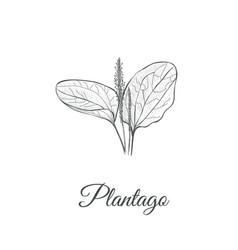 plantago sketch hand drawing plantain vector image