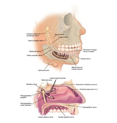 Facial nerves vector image