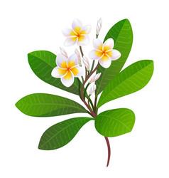 Blooming plumeria vector