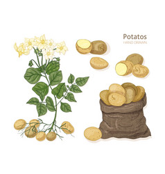 Detailed botanical drawings potato plant vector