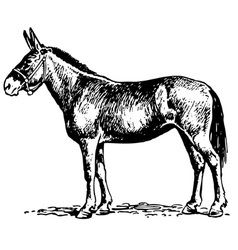 Mule vector