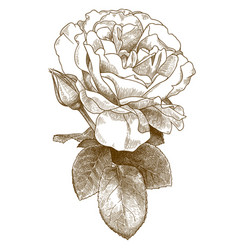 engraving rose flower vector image