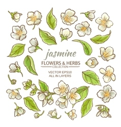 Jasmine flowers set vector