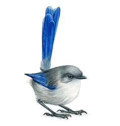 Fairy wren hand drawn bird watercolor colored vector