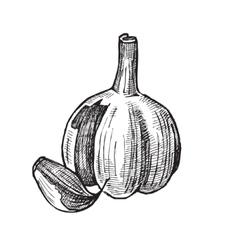 hand drawn of garlic vector image