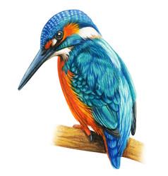 Kingfisher martin hand drawn bird watercolor vector