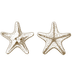 Engraving antique starfish vector