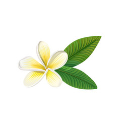 Frangipani flower with leaves vector