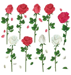 Set of flowers white and red roses isolated vector